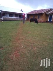 Selling Of Farm Bull | Livestock & Poultry for sale in Kisii, Nyacheki
