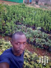 Fruits Seedling On Sale | Feeds, Supplements & Seeds for sale in Murang'a, Makuyu