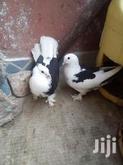 Exotic Fancy Cross Breed Pigeons | Birds for sale in Nairobi, Embakasi