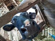 Freshian Cow For | Livestock & Poultry for sale in Murang'a, Mugoiri