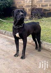 Adult Female Purebred Cane Corso | Dogs & Puppies for sale in Nairobi, Karen