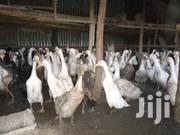 Rinner Ducks | Livestock & Poultry for sale in Nairobi, Embakasi