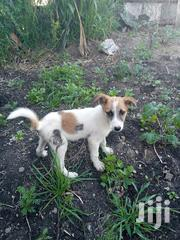 Baby Male Mixed Breed | Dogs & Puppies for sale in Nairobi, Embakasi