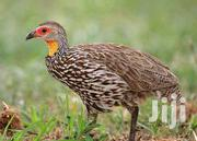 Spurfowls For Sale In Nairobi | Birds for sale in Nairobi, Kahawa West