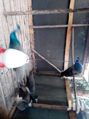 Peacock For Sale | Birds for sale in Nairobi, Karen
