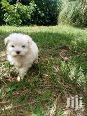 Maltese House Pet | Dogs & Puppies for sale in Kiambu, Kihara