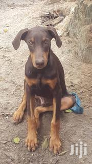 Young Male Purebred Doberman Pinscher | Dogs & Puppies for sale in Kwale, Ukunda