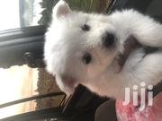 Baby Male Mixed Breed Japanese Spitz | Dogs & Puppies for sale in Nairobi, Nairobi West