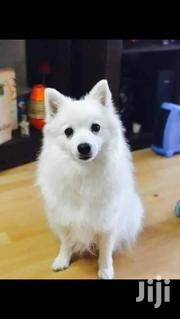 Baby Male Purebred Japanese Spitz | Dogs & Puppies for sale in Nairobi, Karen