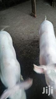 2 Male Pigs, 7months Old | Livestock & Poultry for sale in Kiambu, Kikuyu