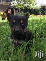Baby Male Purebred German Shepherd Dog | Dogs & Puppies for sale in Nairobi, Embakasi