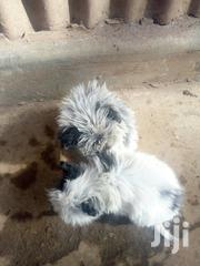 Baby Male Mixed Breed Chihuahua | Dogs & Puppies for sale in Nairobi, Kawangware
