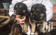 Baby Female Mixed Breed German Shepherd Dog | Dogs & Puppies for sale in Nairobi, Kahawa