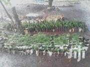 Trees/ Fruits Seedlings | Feeds, Supplements & Seeds for sale in Kiambu, Thika