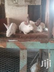 Rabbits For Sale | Livestock & Poultry for sale in Nakuru, London