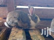 Rabbits In Thika | Livestock & Poultry for sale in Kiambu, Thika