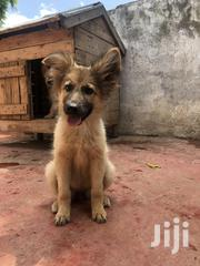 Baby Male Purebred | Dogs & Puppies for sale in Nairobi, Kasarani