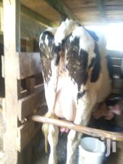 Second Calvers With 25/30 Ltrs Per Day, Freshly Calved. | Livestock & Poultry for sale in Kiambu, Githunguri