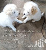 Young Male Mixed Breed Maltese | Dogs & Puppies for sale in Kilifi, Mnarani