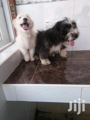 Young Male Purebred Havanese | Dogs & Puppies for sale in Nairobi, Kahawa