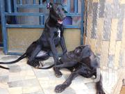 Young Male Purebred Great Dane   Dogs & Puppies for sale in Nairobi, Kahawa