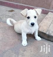 Young Male Purebred Jack Russell Terrier | Dogs & Puppies for sale in Nairobi, Roysambu