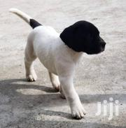 Young Male Purebred Great Dane   Dogs & Puppies for sale in Nakuru, Bahati