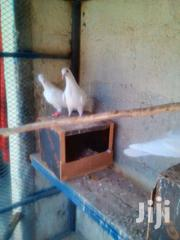 White Doves | Other Animals for sale in Machakos, Athi River