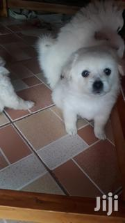 Baby Male Purebred Japanese Spitz   Dogs & Puppies for sale in Nairobi, Umoja II