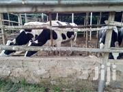 Served Friesian Heifers For Sale! | Livestock & Poultry for sale in Machakos, Mua