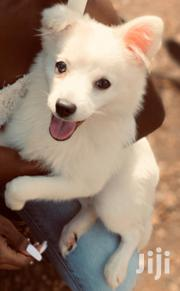 Young Male Purebred Japanese Spitz | Dogs & Puppies for sale in Nairobi, Nairobi West