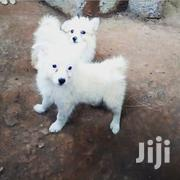 Baby Male Purebred Japanese Spitz | Dogs & Puppies for sale in Kajiado, Kitengela