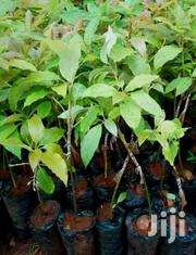 Grafted Hass Avocado Seedlings | Meals & Drinks for sale in Kiambu, Hospital (Thika)