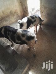 Pietrain Boars 8 Months For Sale Eldoret & Soy   Livestock & Poultry for sale in Uasin Gishu, Soy