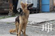 Young Female Purebred German Shepherd Dog | Dogs & Puppies for sale in Nairobi, Umoja II