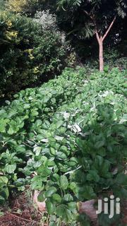 Chandler Strawberry Seedlings | Feeds, Supplements & Seeds for sale in Murang'a, Makuyu