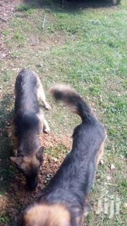 Adult Male Purebred German Shepherd Dog | Dogs & Puppies for sale in Nakuru, Nakuru East