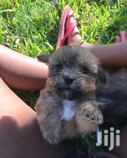 Baby Male Mixed Breed Cairn Terrier | Dogs & Puppies for sale in Mombasa, Mkomani