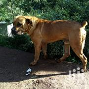 Young Male Purebred Boerboel | Dogs & Puppies for sale in Nairobi, Karura