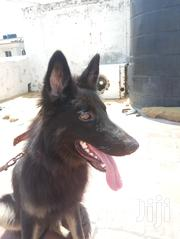 Senior Male Purebred German Shepherd Dog | Dogs & Puppies for sale in Mombasa, Majengo