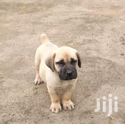 Baby Female Purebred Boerboel | Dogs & Puppies for sale in Nakuru, Lanet/Umoja