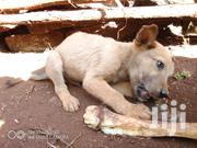 Young Male Mixed Breed | Dogs & Puppies for sale in Nyeri, Kiganjo/Mathari