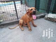 Baby Female Purebred Boerboel | Dogs & Puppies for sale in Mombasa, Bamburi