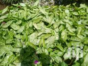 Potted Syngonium-arrow Head Plant | Garden for sale in Kajiado, Ngong