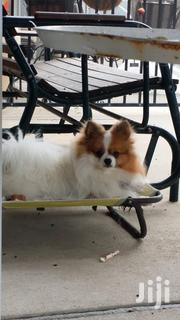 Young Female Purebred Pomeranian | Dogs & Puppies for sale in Nairobi, Embakasi
