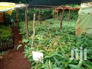 Hass Seedlings | Meals & Drinks for sale in Nyeri, Aguthi-Gaaki