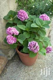 Potted Hydrangea-all Colours | Garden for sale in Kajiado, Ngong