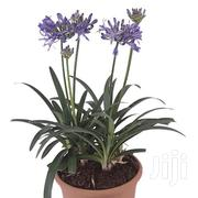 Potted Flower Of Love-agapanthus | Garden for sale in Kajiado, Ngong
