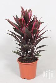 Potted Flawless Cordyline | Garden for sale in Kajiado, Ngong