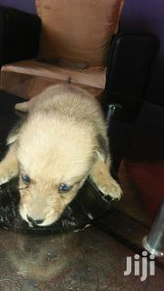 Baby Female Mixed Breed Mongrel (No Breed) | Dogs & Puppies for sale in Nairobi, Nairobi Central